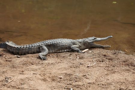 fresh-water-croc-pic.jpg
